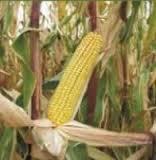Купить Кукурудза Соломон