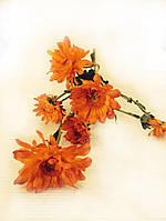 Цветы Хризантема красная