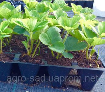 Как вырастить клубнику из семян в домашних условиях 62