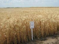 Озимая пшеница (Элита) Австрия