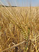 ТАЛБОТ - канадский яровой ячмень, урожайность 120-140ц. Устойчив к грибковым болезням.