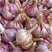 Чеснок озимый сорт Гермидор 60+ (фиолетовый) 200 граммов TOP Onion