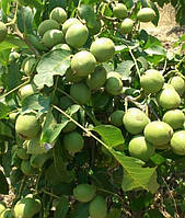 Саженцы грецкого ореха Песчанский