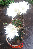 Кактус эхинопсис. Комнатное растение. Комнатный цветок