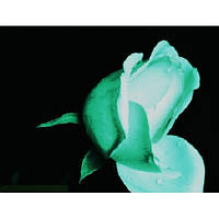 Краска светящаяся AcmeLight для цветов белая