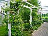 Как посадить актинидию в саду или огороде