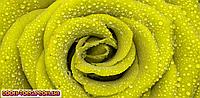 Панорамная картина Салатовая роза