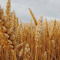 Озимая Пшеница Джерси / Jersey 2 репродукция