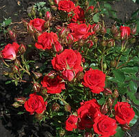 Роза бордюрна Ред Хард