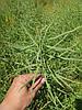 Озимий ріпак під раундап гліфосат ГОЛДЕНПАК РС, 40-45 ц / га, оліі 48,4%, 305-310 днів