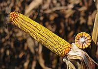 Насіння кукурудзи НС 2652 (ФАО 280) НОВИНКА!