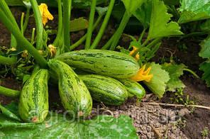Как быстро прорастить семена кабачков