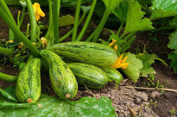 Як швидко проростити насіння кабачків