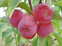 """Саженец райской яблони """"Долго """""""