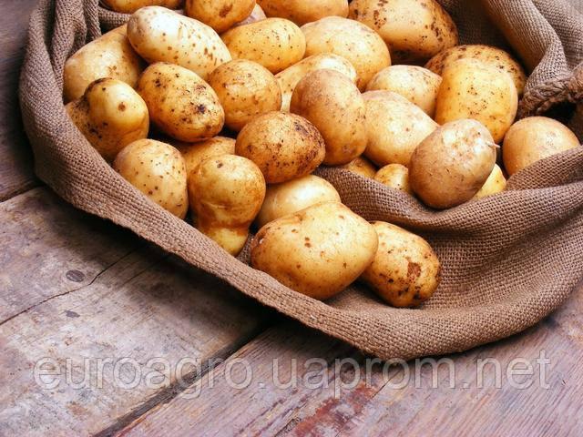 Главные покупатели украинского картофеля на международном рынке