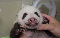 В зоопарке Токио взвесили детеныша панды