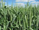 """Семена озимой пшеницы """"Вильшана"""""""