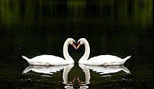Фотообои: Лебеди