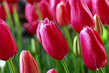 Фотошпалери: Весняні тюльпани