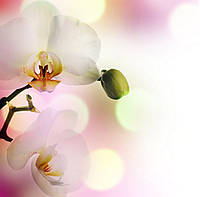 Фотообои: Нежные орхидеи