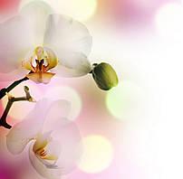 Фотошпалери: Ніжні орхідеї