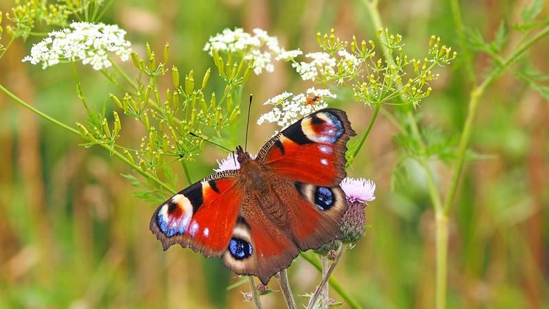 Фотообои Красная бабочка