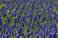Фотообои Лавандовое поле