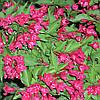 Вейгела гибридная Red Prince, контейнер 3 л H 20-30 см