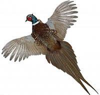 Чучело фазана