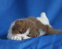 Котенок редкого окраса циннамон