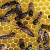 Бджоломатки Матки Карпатка Пчеломатки з доставкой 2018