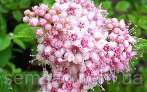 """Спирея японская """"Литтл Принцесс"""" Spiraea japonica 'Little Princess' ( саженец 3 года ЗКС), фото 2"""