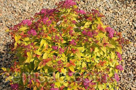 "Спирея японская "" Голдфлем"" ( spiraea japonica goldflame ) ( саженец 3 года ЗКС), фото 2"