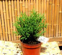 Можжевельник прибрежный Блю Пацифик( Juniperus conferta Blue Pacific), фото 1