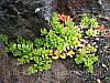 Ива ползучелистная — S. serpyllifolia