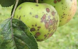 Парша у яблонь и груш