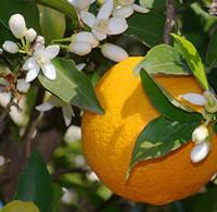 Эфирное масло Апельсин 10 мл
