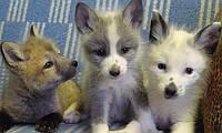 Ручная лисичка - это настоящий друг и компаньон