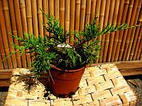 Можжевельник китайский - Juniperus Kuriwao Gold