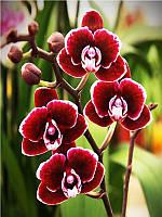 Алмазная вышивка Орхидеи в цвету 40 х 30 см (арт. FS586)