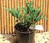 Можжевельник  Пфитцериана Компакта-Juniperus Pfitzeriana compakt