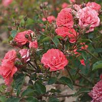 Роза кустовая Дрифт Корал