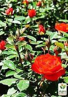 "Роза миниатюрная ""Оранж корона"" Суперцена!"