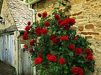 Роза плетистая красная, фото 1