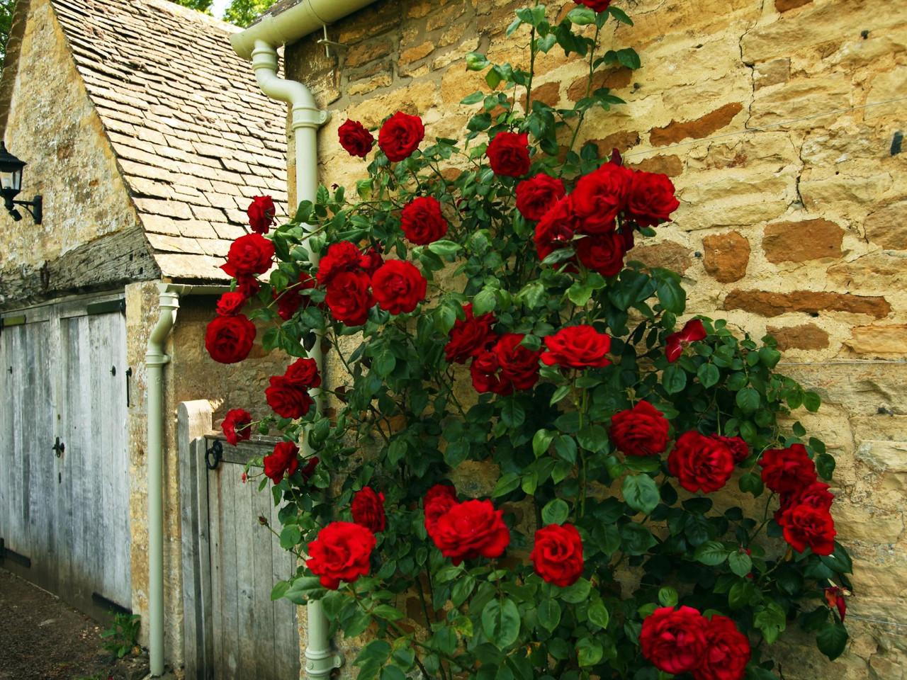 Роза плетистая красная - Торговый дом Green House в Киеве