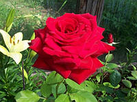 Роза Бургунд (Rose Burgund)