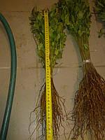 Подвой антипки, магалепки высотой 10-20 см