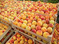 Подвой для абрикоса та персика