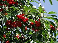 Саженцы вишни, фото 1