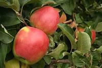 Яблуня Лигольд